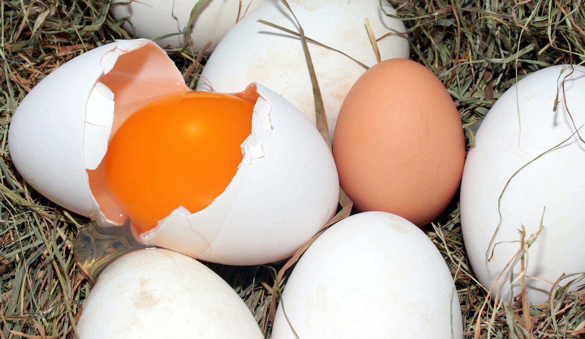 Hens Eating Eggs